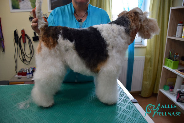 Das Endergebnis. Leider wurde im vorigem Salon Kopf, Beine und Bauch geschnitten sodass ein langwieriger Fellaufbau nötig ist.