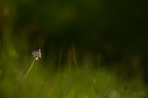 Orchis brûlé (Neotinea ustulata), Cescau, Mai 2015