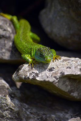 Lézard Vert Occidental (Lacerta bilineata), Moulis, Mai 2017