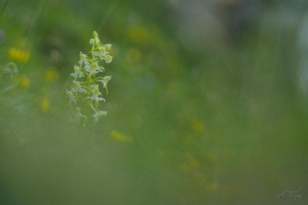 Plathantère verdâtre (Platanthera chlorantha), Orlu, Juin 2017