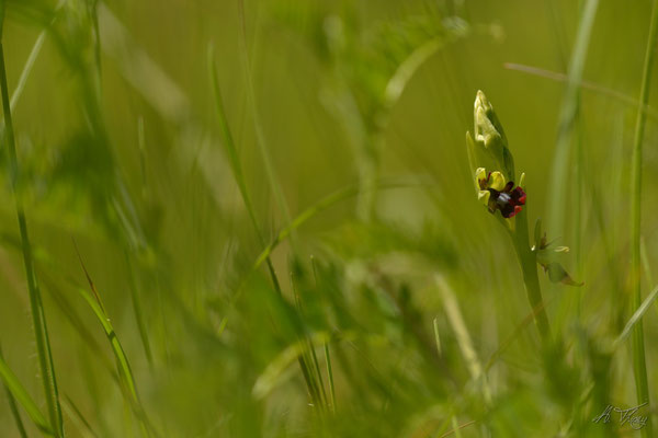 Ophrys mouche (Ophrys insectifera), Moulis, Mai 2016