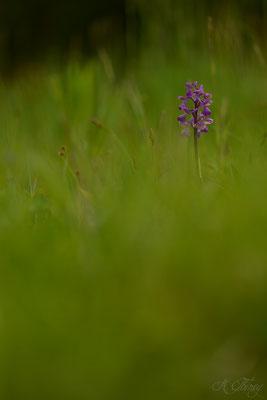 Orchis bouffon (Anacamptis morio),Cescau, Mai 2015