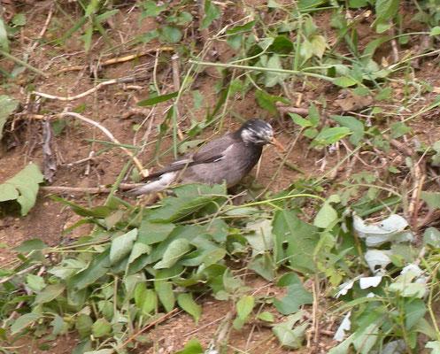 草刈り後飛来したムクドリ。瞬く間に多くのムクドリが集まってきました。