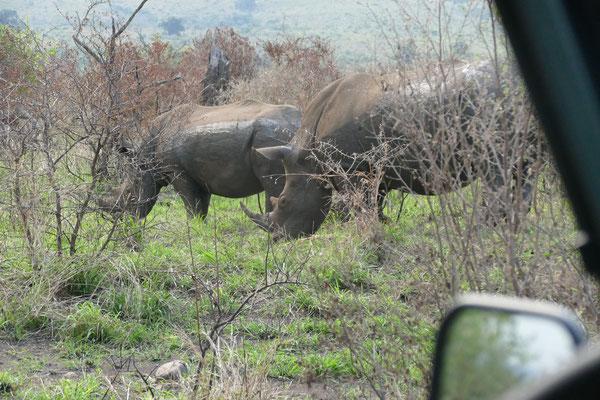 Ein Nashornpaar beim abendlichen Grasen