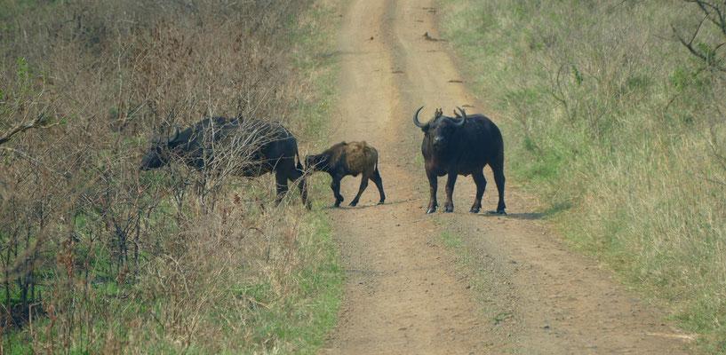 Ein männlicher Kaffernbüffel hat die ganze Herde gesichert