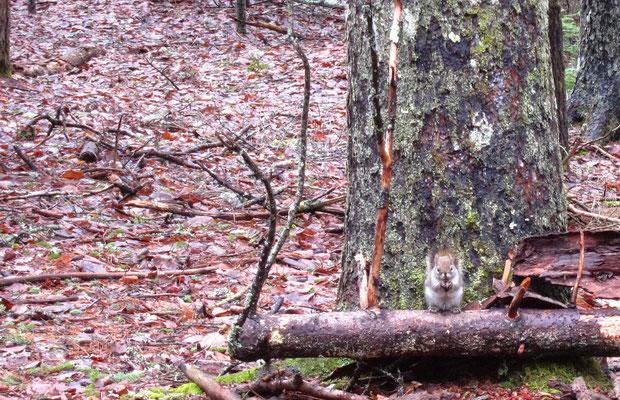 Ein bisschen Leben im Wald - Eichhörnchen beim Futterknacken