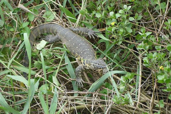 Ein Iguana im Schilf