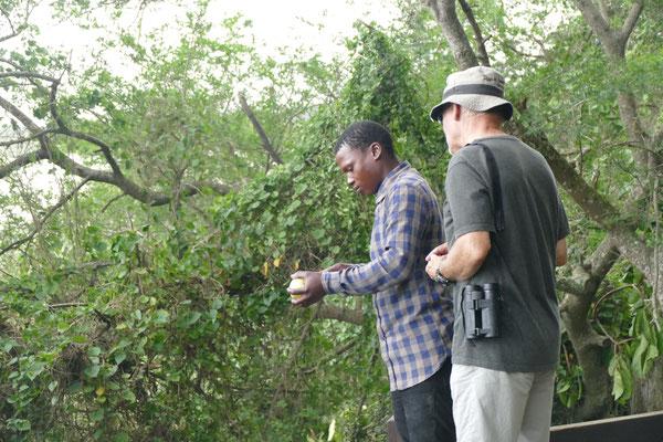 Aus einem Green Apple Monkey Tree mit harter Schale werden Leuchten hergestellt