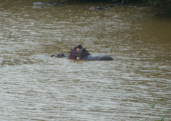 Zwei junge Flusspferde bekabeln sich