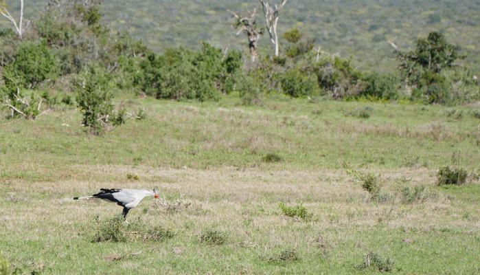Sektretärvogel