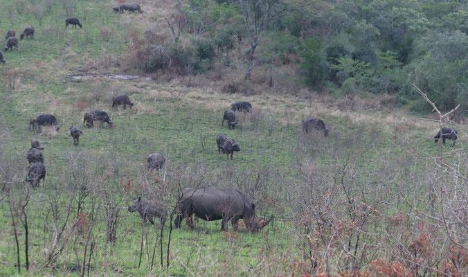 Nashörner und Kaffernbüffel grasen gemeinsam am Abend