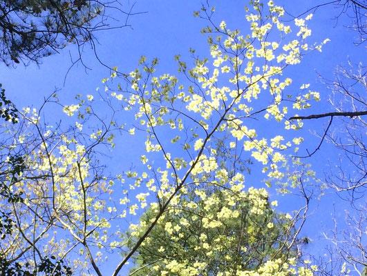 Dogwood-Blüte, zu dt. Amerikanischer Hornstrauch
