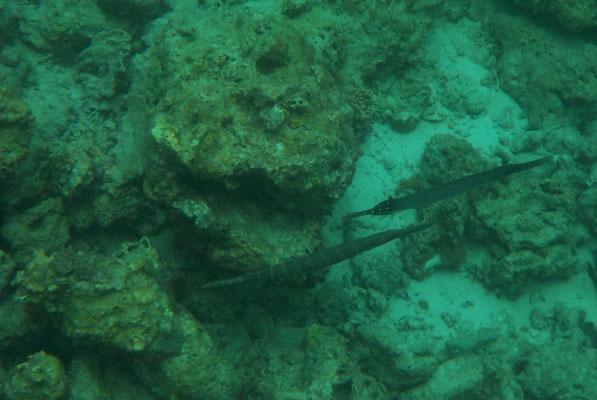 Trompetenfisch