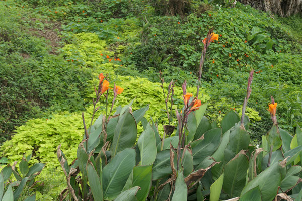 Canna-Pflanzen