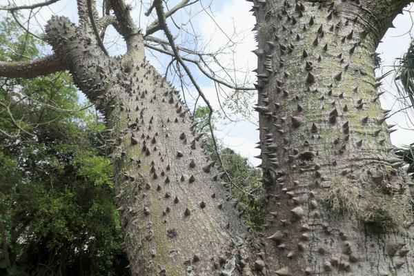 Florettseidenbaum