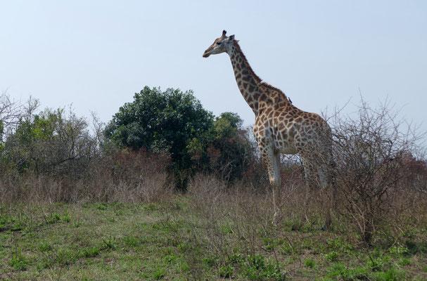 Giraffen sind neugierig