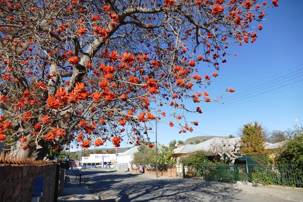 Korallenbaum in Graaff Reinet