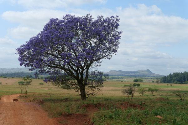 Ein Jacaranda-Baum - duftet gut!