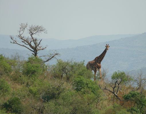 Unsere erste Giraffe, die wir sichten können