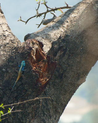 Ein männliches Eidechsenexemplar