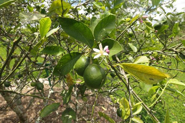 Zitronenblüte und Früchte