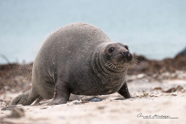 Jetzt bloß weg hier... Diese Robbe war ohne Nachwuchs und suchte Anschluss bei anderen Müttern, die dies natürlich nicht zuließen...