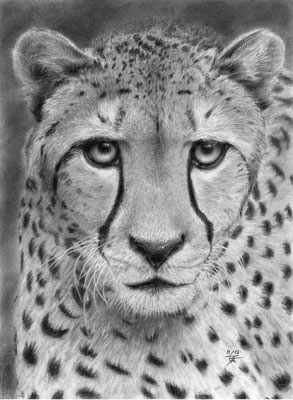 Hypnotic-Cheetah le guépard  Fixez le dans les yeux... Les animaux sont-ils vraiment dénués d'intelligence? Quand on a l'occasion de capter le regard d'un animal, en réel, en photo ou en dessin, on se pose des questions.