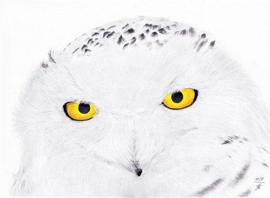 """Le Harfang des neiges, ou chouette Harfang, est le hibou mascotte de Harry Potter, """"Hedwige"""". C'est également l'emblème du Québec."""