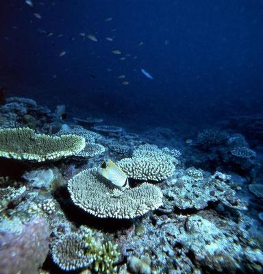 Sango Coral Calcium