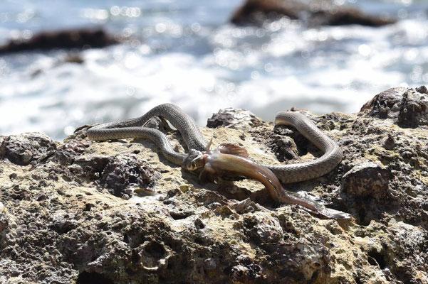 Fütterungsschau - Schlange mit Fisch im Maul
