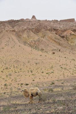 ausgewachsenes zweihöckriges Kamel vor Ayaz Kala