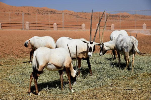 seltenen arabischen Oryx-Antilopen