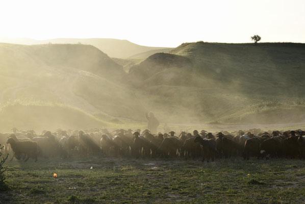 Schäfer mit seiner Herde - diesmal ohne Pferd