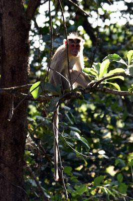 Affe im Dschungel von Karnataka