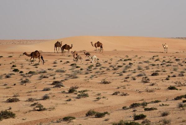 Kamele in der Wüste - juhu Abwechslung