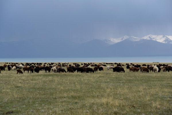Schafe kurz vorm Regen am Song Kul