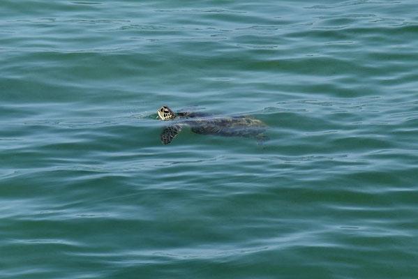 überall sieht man Schildkröten