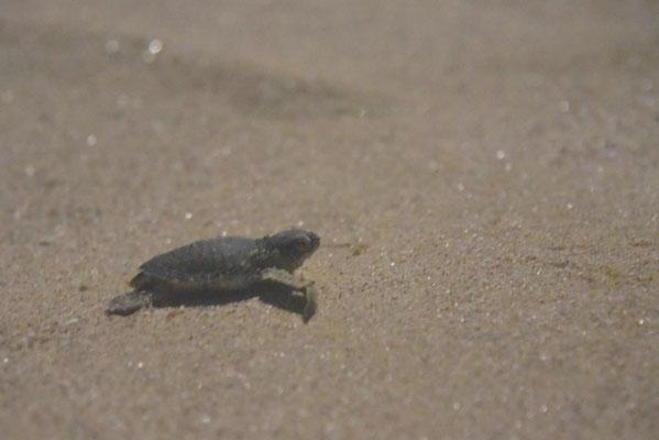 Babyschildkröte - in die richtige Richtung