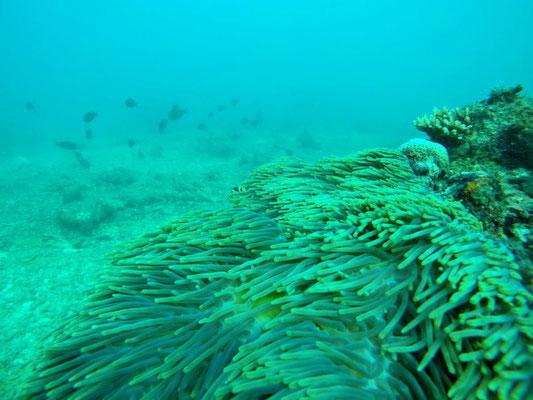 Unterwasser auf Neil - im Hintergrund sieht man die abgestorbenen Korallen