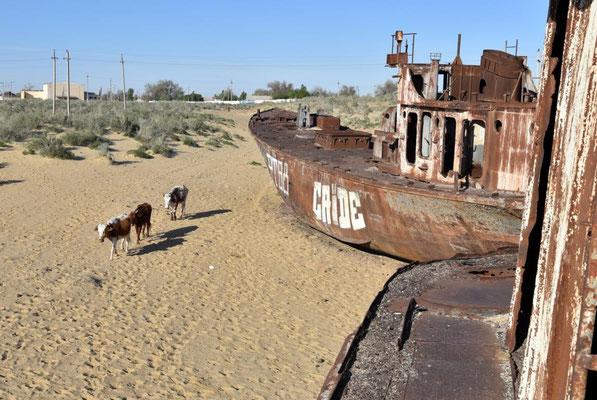 Kühe zwischen den alten Schiffen