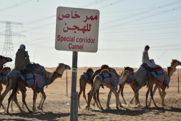 Camel corridor