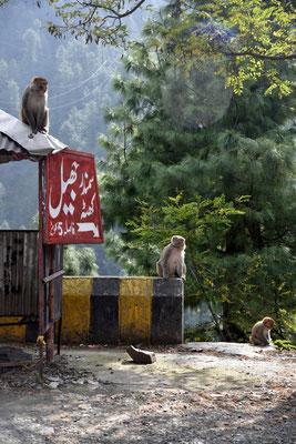 Affen bei Nathiagali
