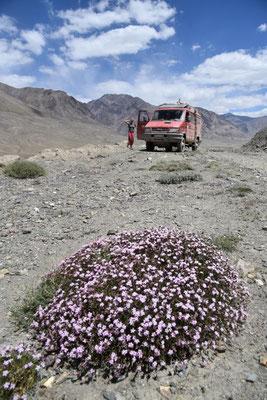 in Tadschikistan gibt es zahlreiche Mikroblumen