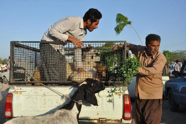 Viehmarkt in Minab