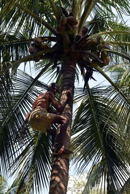 Kokosnusspflücker - pro Hochklettern und ca. 6 Kokosnüsse runter holen bekommt er ca. 80 Cent