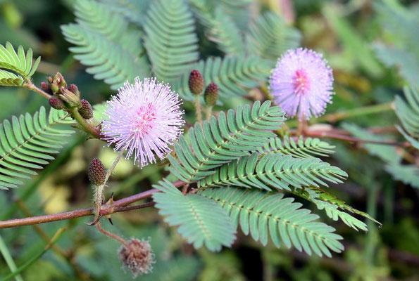 wundersame Pflanzen - berührt man die Blätter zieht die Pflanze sich zusammen - Magic...