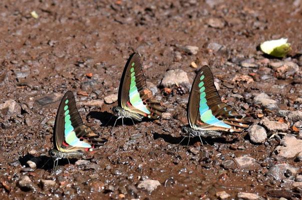 Schmetterlinge im Urwald - so groß wie Vögel