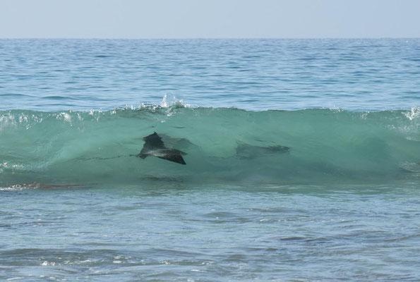 drei Adlerrochen in den Wellen