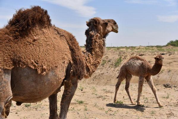 halb geschorenes Kamel - aus dem Kamelhaar werden Socken, Nierenwärmer... gemacht