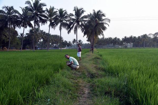 Spaziergang über die Reisfelder
